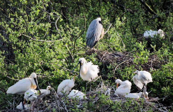 Zolang ze nog niet op trek zijn gegaan, zijn de lepelaars goed te spotten vanuit de vogelkijkhut op de Blauwe Kamer.