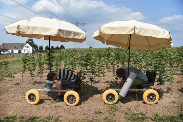 Om in de schaduw te kunnen werken zijn bij deze kweker in Dodewaard parasols aan de werkkarretjes bevestigd. Beeld Marcel van den Bergh