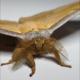 Nachtvlinder doet een 'Harry Pottertje' met eigen onzichtbaarheidsmantel