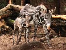 Schattig! Zebraveulen geboren in DierenPark Amersfoort