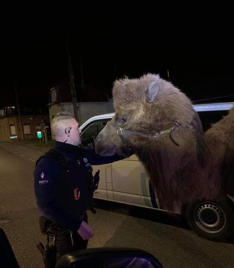 """Deux chameaux et un dromadaire se promènent à Tournai: """"Cela aurait pu passer pour un canular du 1er avril"""""""