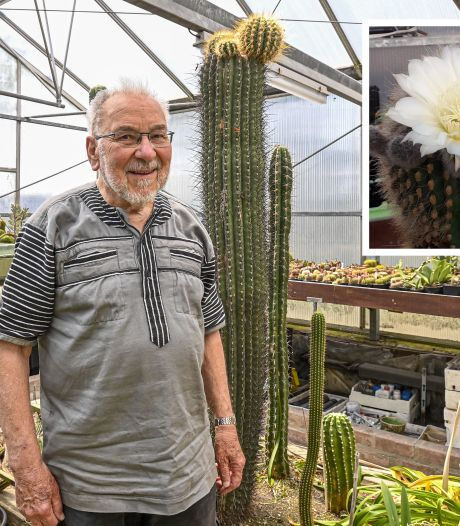 Zestig jaar op gewacht, toen stond de reuzencactus heel eventjes in bloei