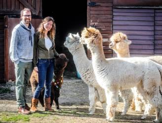 Op 'meet, greet & feed' met vier schattige alpaca's? In Gistel is het voortaan mogelijk