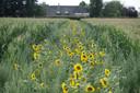 Dwars door de maïsvelden bij de Eefdese Enkweg in Eefde  is een geel lint vol zonnebloemen ontstaan.