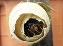Een nest van de Aziatische hoornaar.