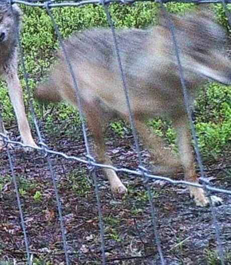 Vijf dode schapen in een dag: heeft de Veluwse wolvin weer toegeslagen?