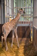 Als de weersomstandigheden het toelaten, mag de giraf naar buiten.