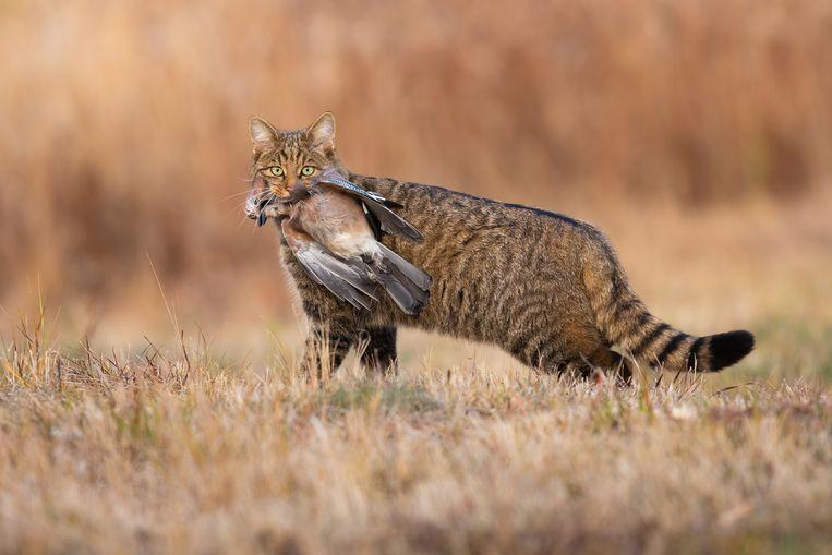 Een wilde kat in Slowakije, met een dode gaai in de bek. Beeld Getty