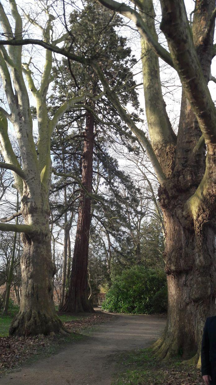 De twee platanen en een mammoetboom (seguoia) in het Geldropse kasteelpark zijn kerngezond en monumentaal beschermd.