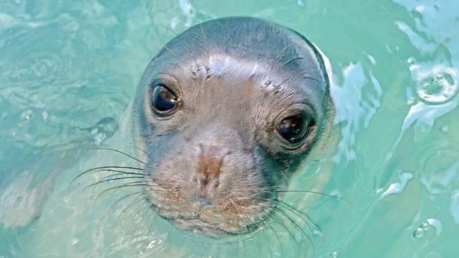 Griekenland in rouw: geliefde zeehond Kostis van dichtbij gedood met harpoengeweer
