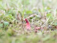 Vondst roze stinkzwam is uniek voor Zeeland