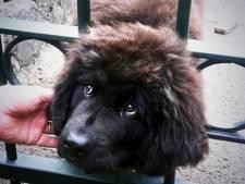 Brandweer Limburg bevrijdt puppy James uit hek in Horst