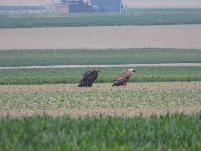 In Hees werden vanavond twee zeldzame gieren gespot:  de vale (r) en de monniksgier.