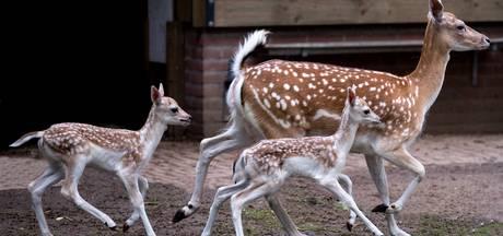 Dierenpark in Schijndel is drie jonge hertjes rijker