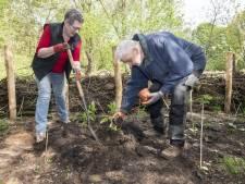 Japanse gember: de laatste plant gaat grond in bij voedselbos bij Kruidenhof in Eibergen