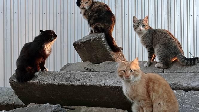 Assenede houdt eind september nieuwe zwerfkattenvangactie