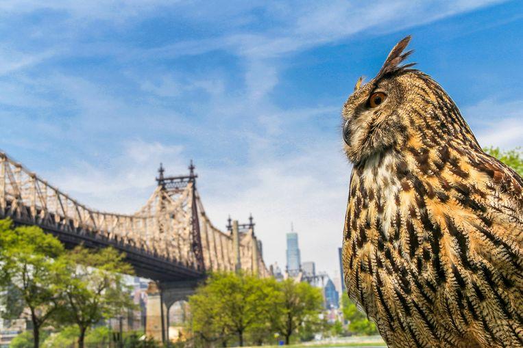Een Amerikaanse oehoe in New York, met op de achtergrond de Queensboro Bridge.  Beeld Getty Images/EyeEm