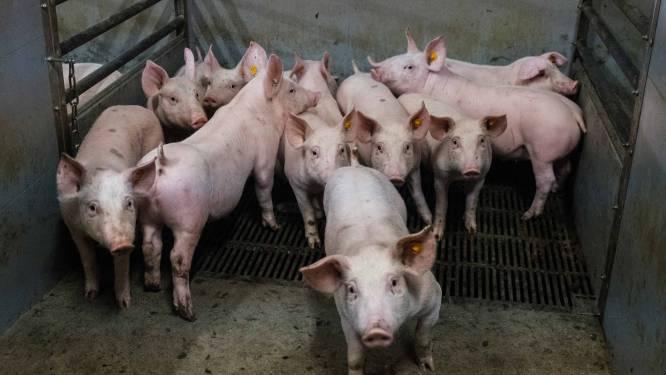 Tien varkens uit beerput gered op landbouwbedrijf in Wingene