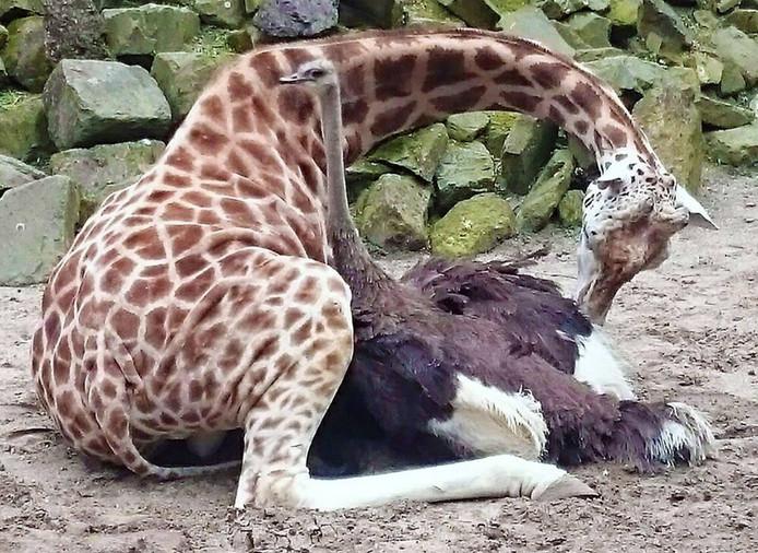 De struisvogel en giraffe zijn aan het 'knuffelen'.
