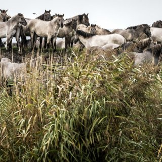 animal-rights-wil-slacht-konikpaarden-tegenhouden