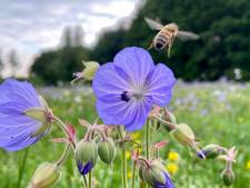 Waarschuwing: bijen sterven massaal als je niet het juiste bloemenzaad strooit
