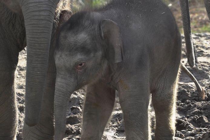 Het olifantje Rashmi voor het eerst in het buitenverblijf van Dierenrijk.