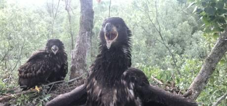 De grootste roofvogel van Europa voelt zich thuis in onze regio: 'Ik heb ze regelmatig boven mijn tuin'