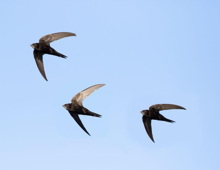 Helen Macdonald: 'Gierzwaluwen vormen de ideale leefgemeenschap.' Beeld Getty Images/iStockphoto
