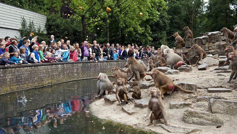 Bezoekers gooien fruit naar de mantelbavianen in Dierenpark Emmen. Beeld anp