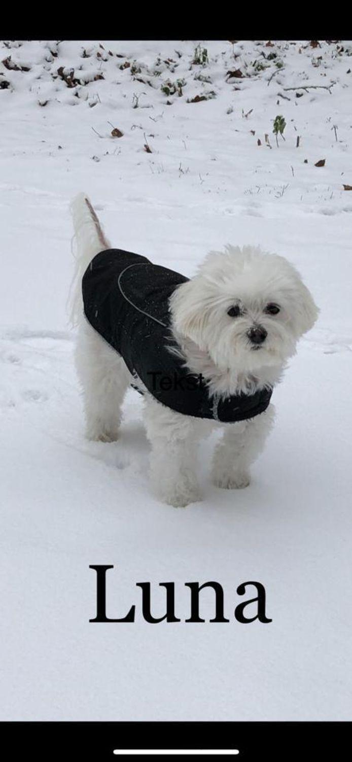 Was het niet voor haar zwarte dekje dan viel Luna weg in het besneeuwde Luntersche Buurtbos.