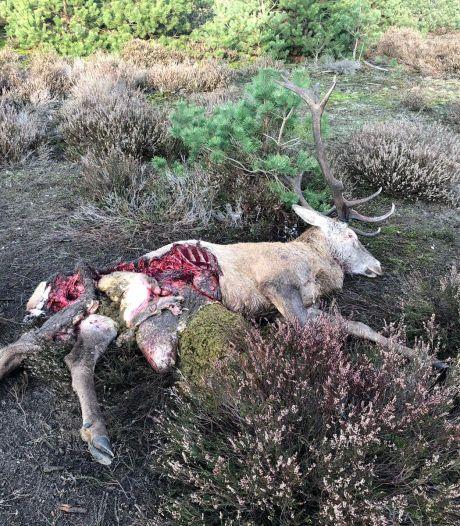 Wolven op Noord-Veluwe breiden hun territorium uit (en ze laten zich vaker zien)