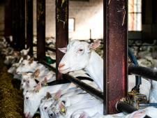 'In Maasbommel komen juist minder geiten in plaats van meer'