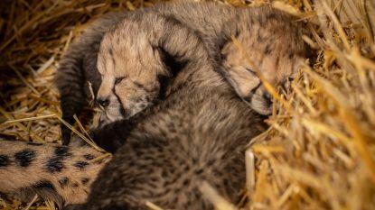 Voor het eerst twee jachtluipaardjongen geboren dankzij IVF