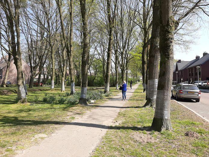 Eiken langs de Steltacker in Goirle zijn ook met plastic folie ontwikkeld in de hoop de eikenrpocessierups af te remmen