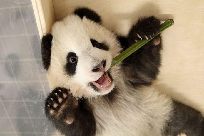 Een babypanda.