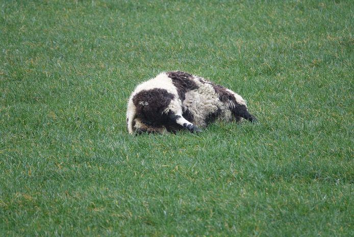 Een van de dode schapen in het weiland in Hardenberg.