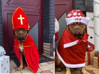 """Sinterklaashond steelt nu ook de show als kerstman: """"Ze doet niets liever dan zich te verkleden"""""""
