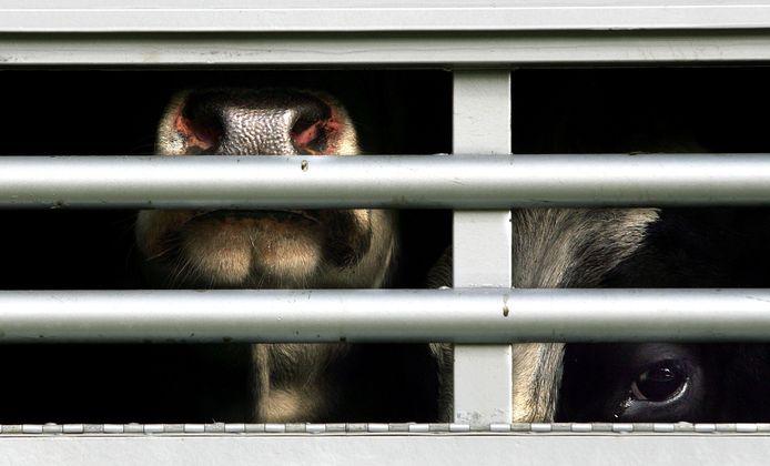 In een vrachtwagen op de Durgerdammerdijk in Amsterdam-Noord zaten 25 koeien samengepropt.