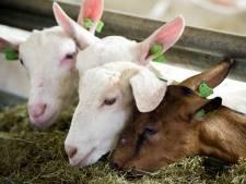 Gemeenteraad van Weststellingwerf blokkeert komst van grote geitenhouderij