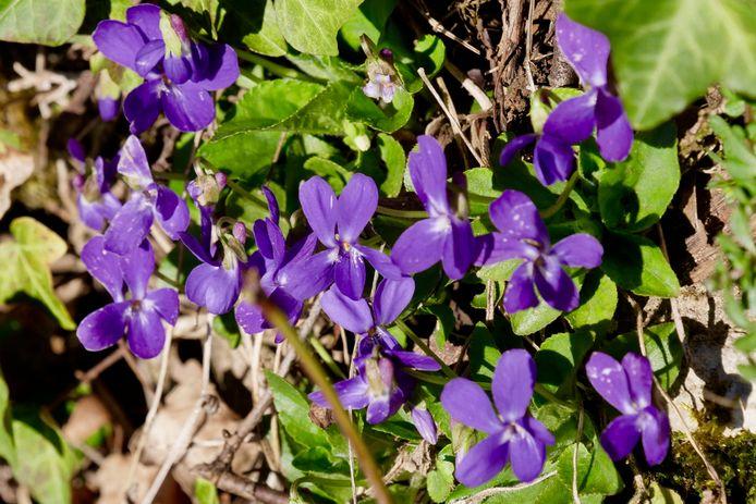 Het maarts viooltje doet het vrijwel altijd.