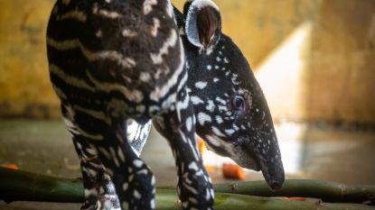 Wordt het Utari of Umai? Kies mee de naam van pasgeboren babytapir