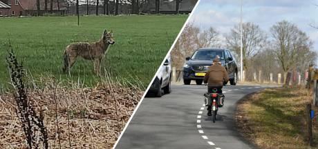 Gemist? Wolf slentert door Twente & frustratie in Enter na weer een dodelijk ongeluk