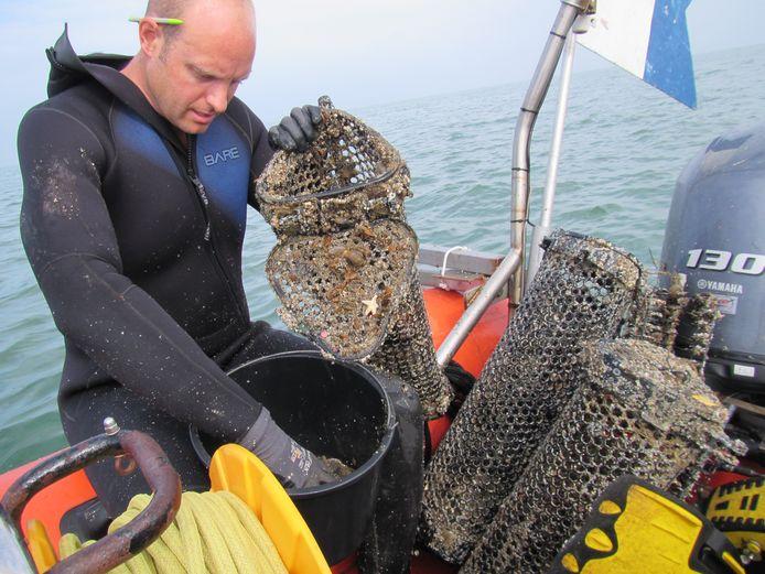 Marien bioloog Wouter Lengkeek bekijkt oesters die zijn uitgezet voor natuurherstel in de Voordelta.