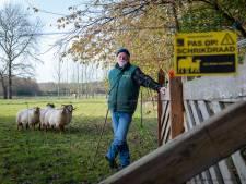 Schapenhouders op de Veluwe zijn niet bang voor de wolf; weinig animo voor een raster, tot het mis gaat