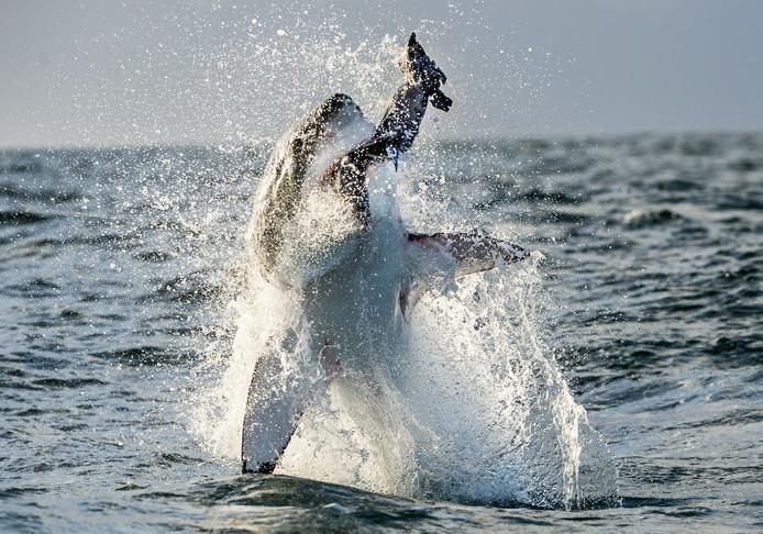 Een witte haai vangt een zeeleeuw door uit de golven te springen.
