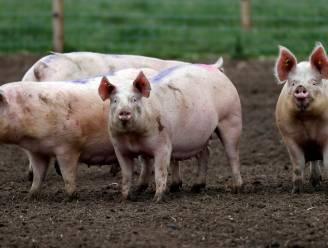 150.000 varkens mogelijk afgemaakt vanwege tekort aan slagers