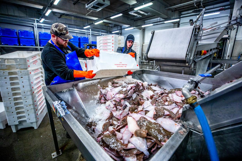 Bij de visafslag in Den Helder wordt vis gesorteerd.  Beeld Raymond Rutting / de Volkskrant