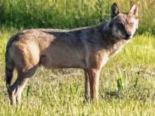 Hobbyfotograaf uit Den Bosch legt wolf vast in natuurgebied de Moerputten