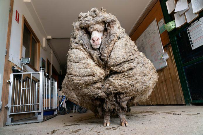 Baarack het schaap zeulde maar liefst 35,4 kilogram wol met zich mee.