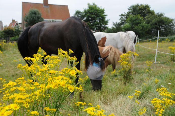 Het Jacobskruiskruid, giftig voor paarden en koeien, bloeit weer. Nog even en het schiet in het zaad.